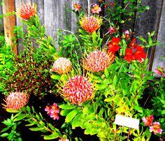 Leucospermum 'veldfire' January, Yard, Sunset, My Favorite Things, Flowers, Plants, Poppies, Patio, Sunsets