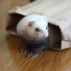 #ferret #いたち #フェレット #ふわもこ部 #ourgreatferretspics #furet #instajapan #_officialpetsfeature #OfficialCritters #ferretsofinstagram #ferretgram #ferrets #instaferret #cutepetclub #balousfriends #pocket_pets  ムギ〜( ´ ▽ ` )ノ✨⭐️ ferret-MUGI -2009-