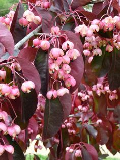 Euonymus grandiflorus 'Red Wine'  http://www.pariscotejardin.fr/2013/11/euonymus-grandiflorus-red-wine/