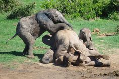 Slideshow: Baby elephants play-fight and pile on top of each other in adorable photographs | Mirror Online