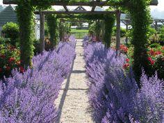 Purple Lavender Landscaping Plants