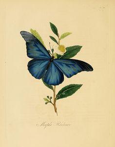 Morpho Rhetenor from 'Natural history of the insects of China' (1838).  Edward Donovan (1768–1837).  Wikimedia.