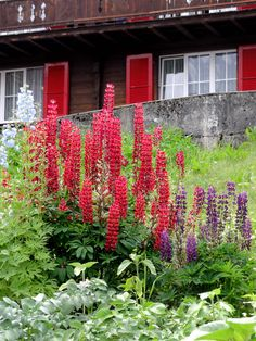"Lupinus hybrid of polyphyllus ""Edelknabe"", a nice vivid red lupinus, 70cm, june-july flowering, remontant when pruned, tolerates dry but not alkaline soil"
