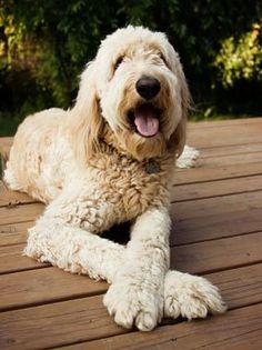 Goldendoodles - breed characteristics