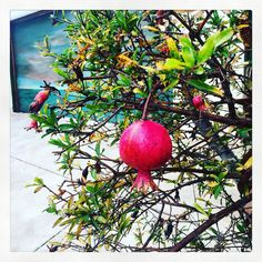 Pomegranate by Erica Volltrauer Pomegranate, Over The Years, Apple, Fruit, Granada, The Fruit, Apples, Garnet