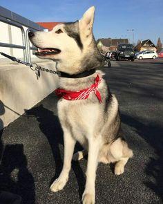 Tyler 14.3.2016 #huskys #siberian #schlittenhunde #husky #dogs #dog #hund #hunde #hundeliebe