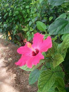Hibiscus, Rose of China