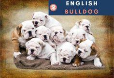 english bulldog Puppies breeds, Dog Breeds