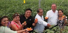 Política y Sociedad: JMM / Chile habanero en invernadero