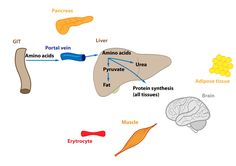Relations in the Intermediary Metabolism Adipose Tissue, Amino Acids, Human Body, Metabolism, Muscle, Food, Essen, Meals, Muscles