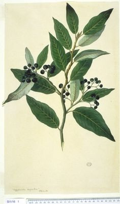 Historical botanical illustration of the day | nat waddell's blog