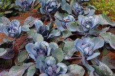 Max Liebermann Summerhouse Vegetable Garden - Cabbage