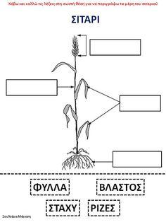 Δραστηριότητες, παιδαγωγικό και εποπτικό υλικό για το Νηπιαγωγείο: Τα μέρη του σιταριού - Τα Δημητριακά