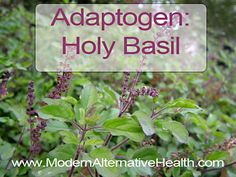 Herbal Spotlight: Holy Basil - Modern Alternative Health
