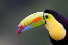 Tucán Multicolor con pico roto