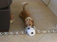 My Corgle, Corgi Beagle Mix!!