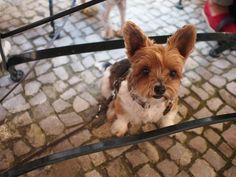Dexy Biewer Yorkshire Terrier | Pawshake