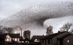 A murmuration of starlings putting on a display over the town of Gretna in Scotland on 10 November 2012