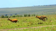 Foto van de dag: Jachtluipaard. Bekijk hier meer foto's van National Geographic: http://natgeotv.com/nl/photo-of-the-day