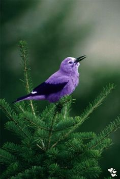 Little Purple Bird (16) Raisa Ress