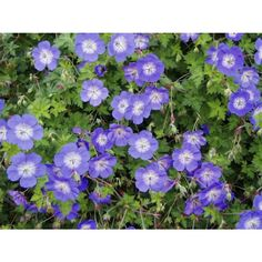 Colorful shade plants for your garden - shadow plants cranesbill geranium cranesbill - Geranium Vivace, Cranesbill Geranium, Hardy Geranium, Perennial Geranium, Perennial Plant, Best Perennials, Shade Perennials, Bonito, Small Gardens