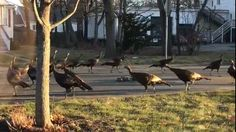 A bizarre scene of a group of wildturkeyswalking in a circle around a dead cat was caught on video by a Massachusetts man who perhaps best described it: an attempt to give the feline its 10th lif...