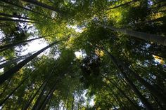 Bamboo Forrest at the Hokokuji Temple - Kamakura, Japan - Photo