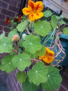 Nasturtiums are easy to grow from seed. The leaves and stems are as beautiful as the flowers.