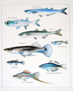 California Grunion, Pike Killfish, Rainbowfish, etc. Vintage 1984 Fish Book Plate. $10.00, via Etsy.