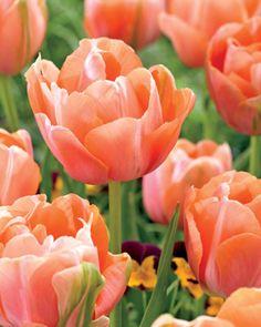 Tulip, Menton Exotic