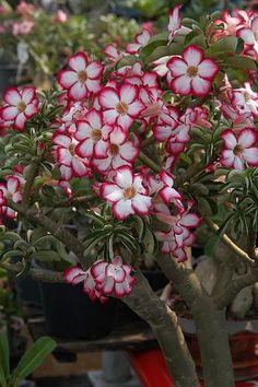 L'Adenium ou #rosedudésert : présentation et culture : Facile d'entretien et très décoratif, l' #Adenium obesum mérite d'être connu ! Cette espèce, aussi appelée faux baobab ou rose du désert, est généralement utilisée comme plante d'intérieur car elle n'est pas du tout rustique. Dans de bonnes conditions, elle fleurit pendant plusieurs mois.
