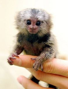35 Exceptionally Cute and Cuddly Baby Animals Photo Rare Animals, Unique Animals, Cute Little Animals, Cute Funny Animals, Animals Beautiful, Exotic Animals, Marmoset Monkey, Pygmy Marmoset, Baby Monkey Pet