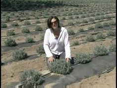 Watering lavender is crucial for the first two years of a plant& life, after which it becomes drought resistant. Water lavender using a drip irrigation syst. Lavender Uses, Lavender Garden, Lavender Blue, Lavender Fields, Flowers Garden, Growing Lavender, 1 Year Baby Food, Drought Resistant Landscaping, Hair Growth Tips