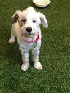 SUCH A SWEETY - Meet Neville, a Petfinder adoptable Schipperke Dog | Marina del Rey, CA | Neville is a 11 year old schnauzer mix. He loves to on walks, car rides and is always a happy...