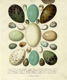 All sizes | Die Eier der Vögel Deutschlands d, 1818 | Flickr - Photo Sharing!
