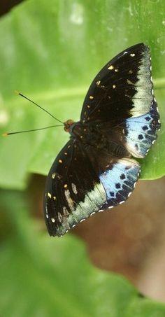 Archduke butterfly (Lexias dirtea)