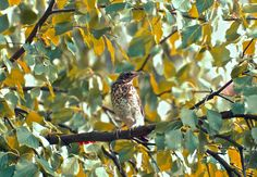 Fieldfare on branch by Elena Stuukstly Kozyryatskaya on 500px