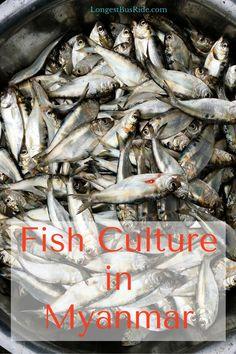 Myanmar Fish Culture - eating and fishing