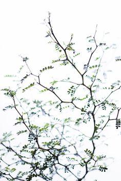 Den här krukväxten har verkligen fångat mitt hjärta. Sophora prostrata är nära släkt med det underbara pagodträdet som växer i södra Sverige. Hon påminner om ett litet miniträd.