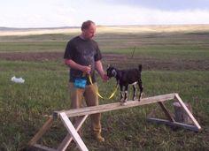 training goats