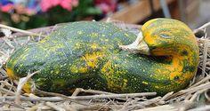 A duck-shaped squash