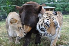 Leo, Baloo and Shere Khan: The Inseparable Bond Between a Bear, Lion and Tiger