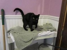 Lola is an adoptable Domestic Short Hair Cat in Colfax, IL. February 19, 2012, 8:20 pm...