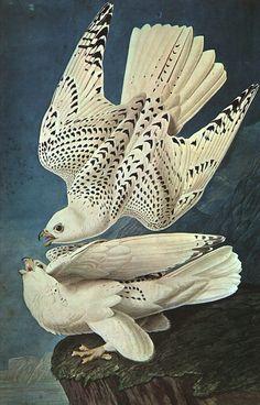 Gyrfalcon, Falco Rusticolus Canvas by J J Audubon