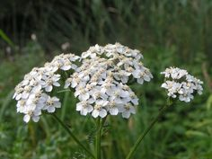 Can take shade - Common Yarrow (Achillea millefolium) Planting Seeds, Planting Flowers, Yarrow Plant, Achillea Millefolium, Companion Planting, Drying Herbs, Types Of Plants, Medicinal Plants, Natural Treatments