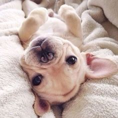 French bulldog puppy♡