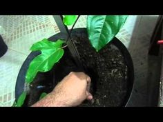 Como plantar Maracujá em vasos. - YouTube