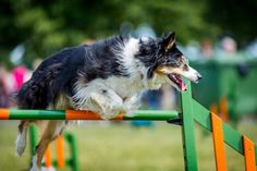 Dog agility photography, training, drills and jumps at Just Dogs Live course in Peterborough. Jumping Dog.