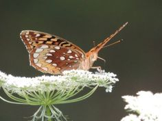 Great Spangled Fritillary Butterfly on Queen Anne's Lace