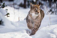Snow runner by Martin Zorn. Lynx in a wildlife park, Hellenthal, Germany